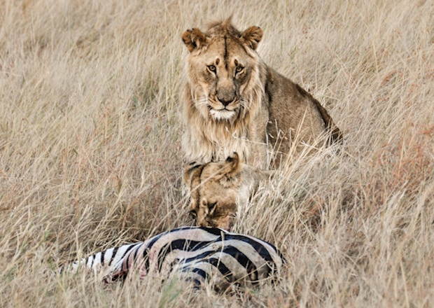 Pin It: Travel the World – Lions of the Masai Mara