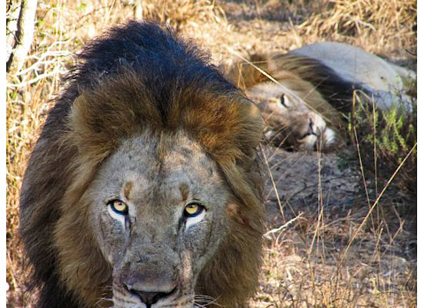 Pin It: Travel the World- South African Lion Brothers