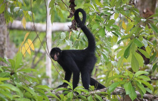 spider monkey amazon jungle