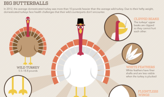 The Truth About America's Turkeys INFOGRAPHIC