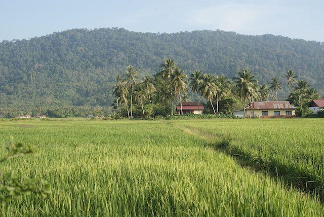 padi field langkawi