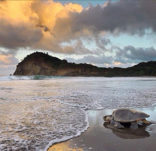 sea turtle on the shore of La Flor Beach