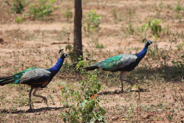 sri lankan peacock safari uda walawe sri lanka