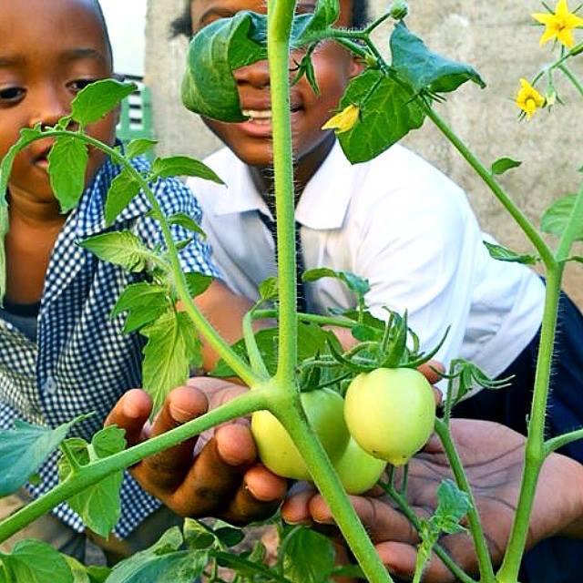 plant jamaica
