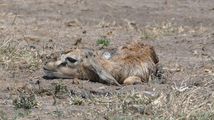newborn gazelle maasai mara