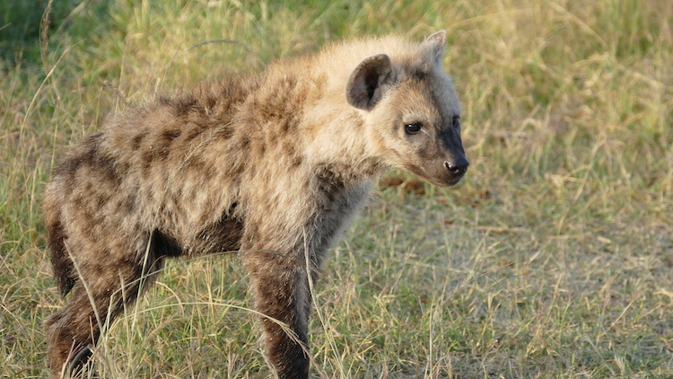 baby hyena maasai mara