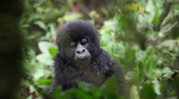 How Gorillas Are Helping Rwanda (And Vice Versa)