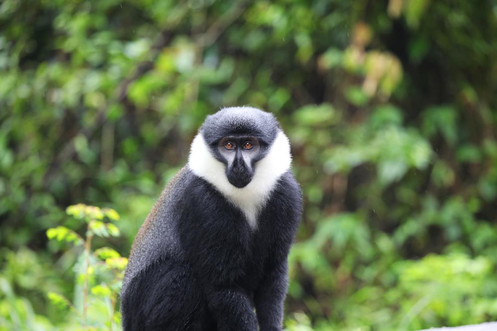 colobus_monkey