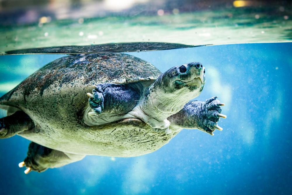 Sea_Turtle_Swimming