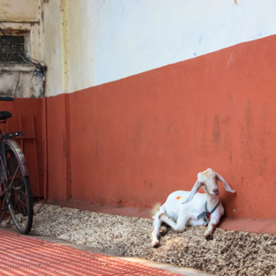 goat in kerala