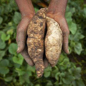 tanzania sweet potato