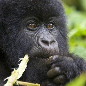 Gorilla in Bwindi National Park Uganda