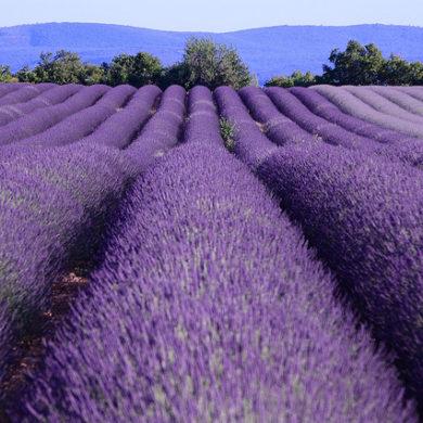 lavender route