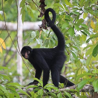 spider monkey amazon jungle