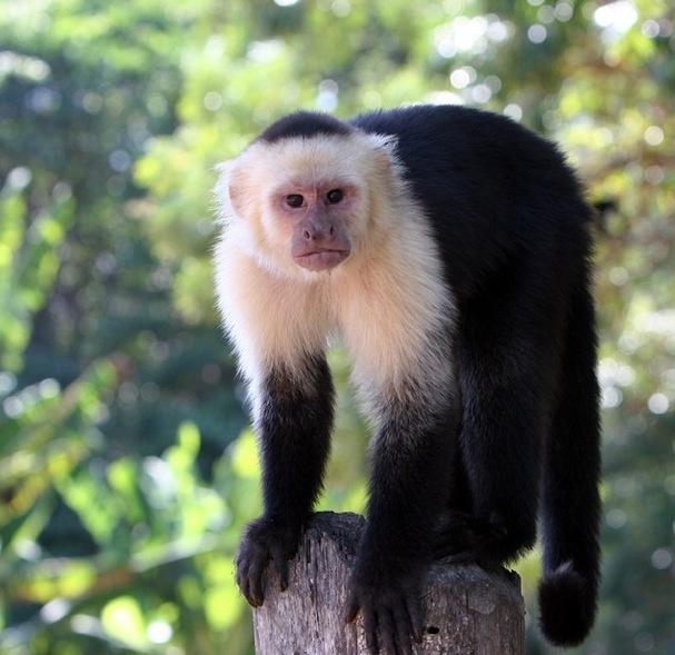 white-headed capuchin, a monkey
