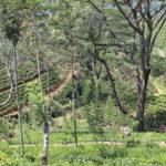 A Spot of Tea in Sri Lanka