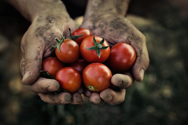 tomato harvest photo
