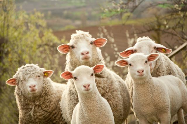 sheep mob
