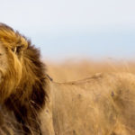 Death of Cecil the Lion Ignites Long Overdue Discussion About Outlawing Trophy Hunting